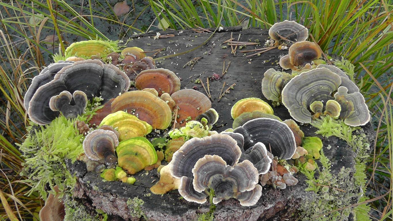 pilze sammeln und pilze bestimmen blog baumpilze bestimmen birkenporling zunderschwamm usw. Black Bedroom Furniture Sets. Home Design Ideas