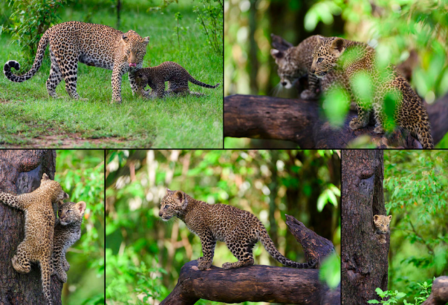 Leopardin mit 10 Wochen alten Babys, Masai Mara Kenia