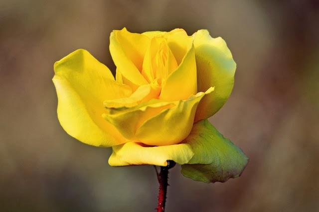 Trandafirul galben