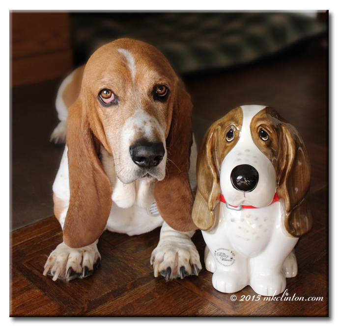 Bentley Basset with a Pioneer Woman's Basset cookie jar