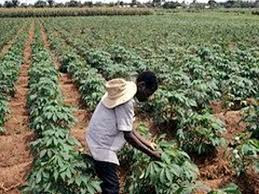 Cassava farm land