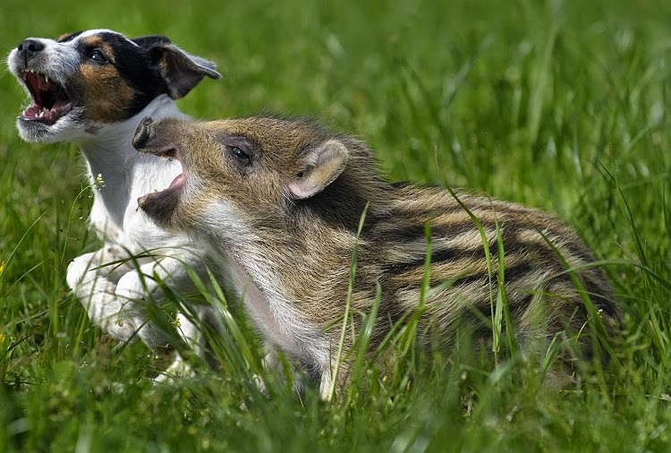 #7 Mani The Wild Boar Piglet And Candy The Dog - Unusual Animal Friendships That Are Absolutely Adorable!
