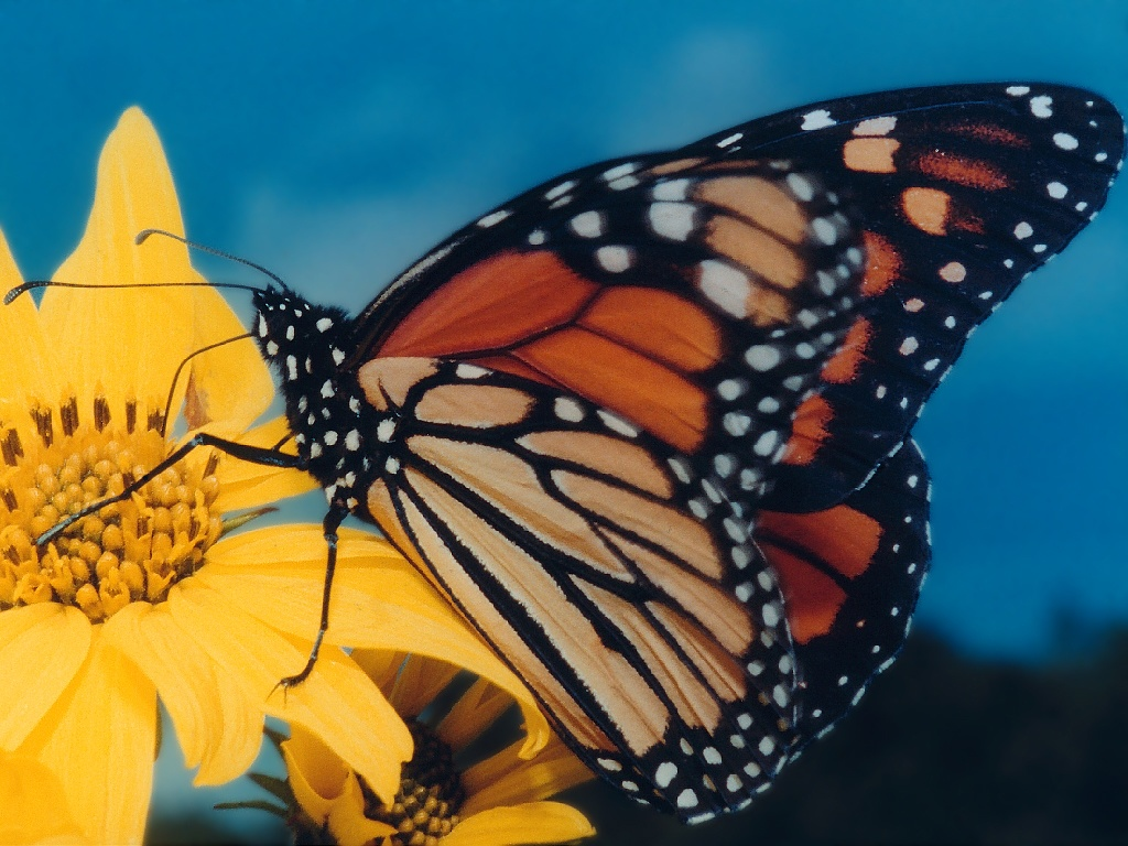 The Monarch Butterfly - SNSH - photo#35
