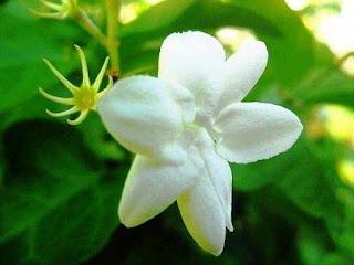 Gambar Bunga Melati-1