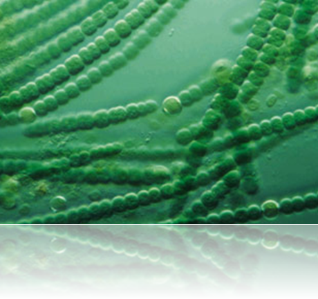 Alga azul verde