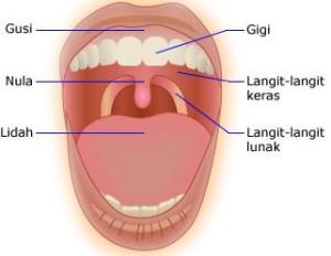 Struktur Anatomi Gigi dan Mulut manusia dan Fungsinya