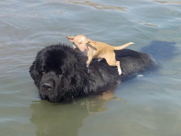 Cute dogs - part 3 (50 pics), little dog rides on big dog swimming