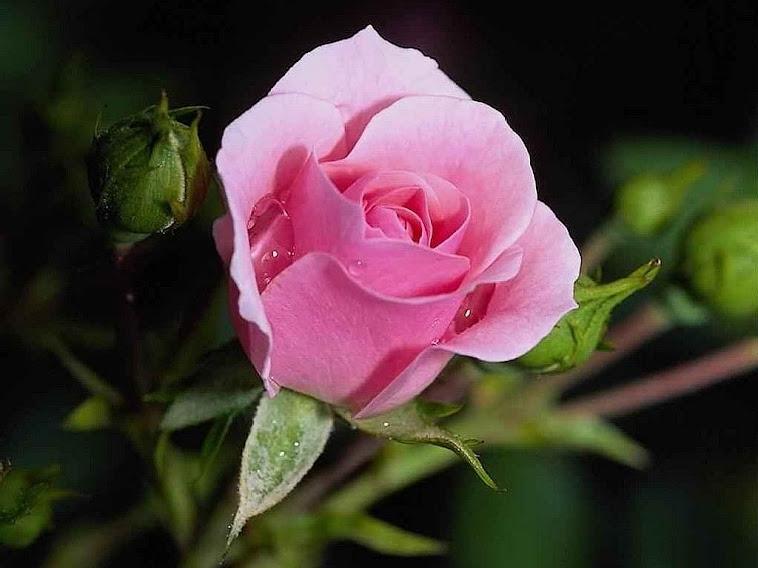 """Bunga Mawar """"PINK"""""""