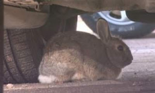 Bunnies attacking cars