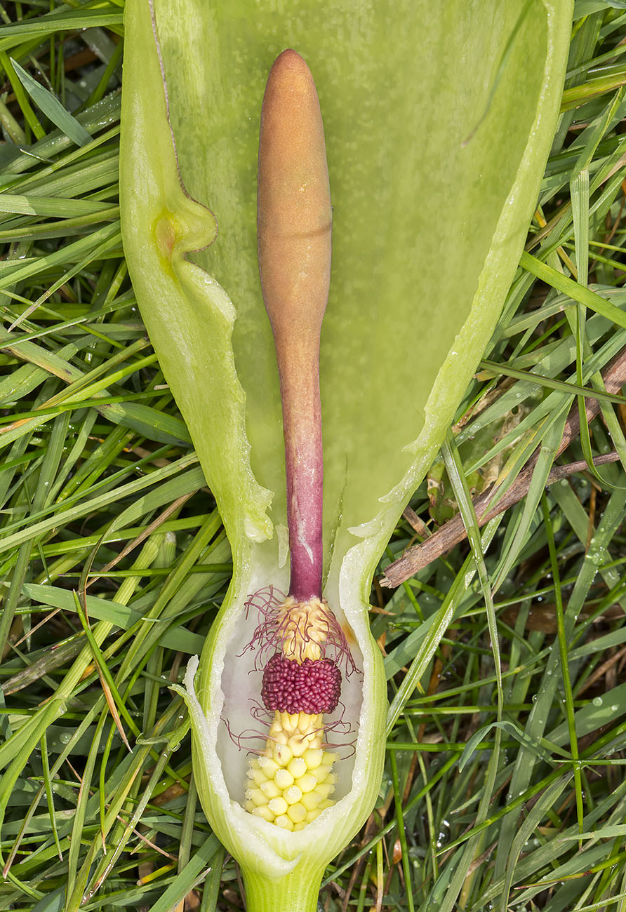 Cuckoo-pint, Arum maculatum, longitudinal section. High Elms Country Park, 21 April 2014.