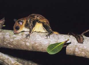 Foto Tupai Hylopetes sp