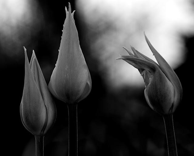 tulipany, zdjęcie, czarno-białe, Tulipa L., ogród, wiosna