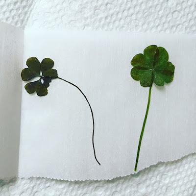 Two dried four leaf clovers resting on wax paper