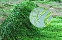 spirulina hijau