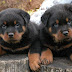 Cute German Rottweiler Puppies Reviews and Pictures