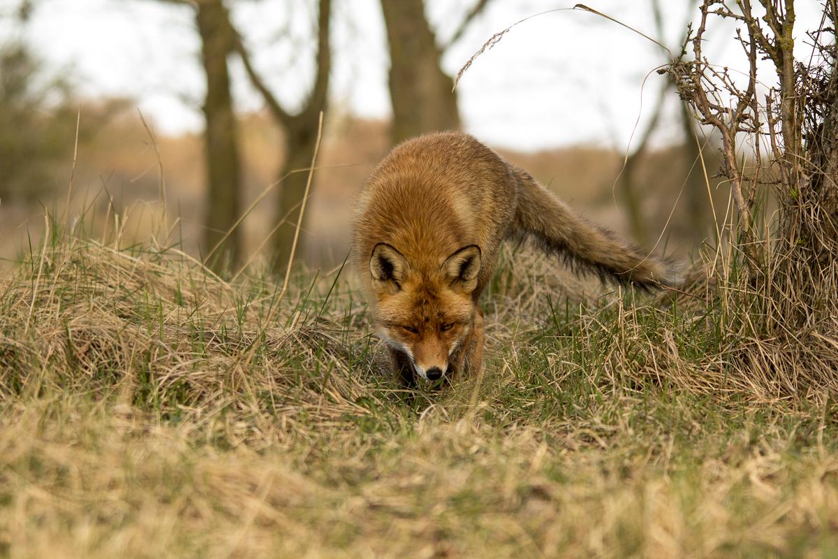 vos komt er aangeslopen