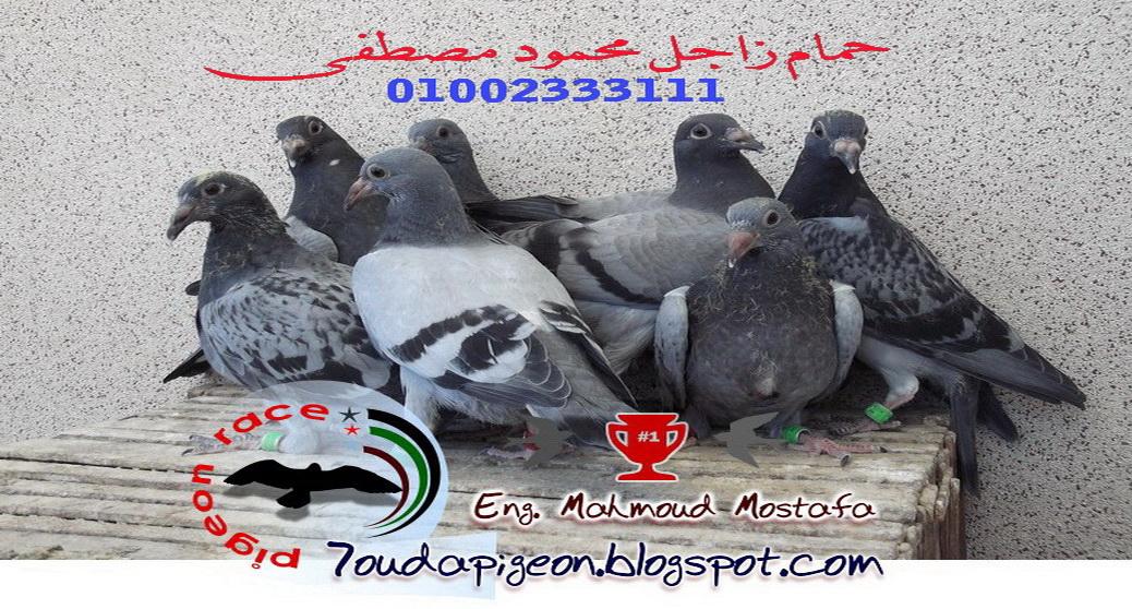 حمام زاجل  محمود مصطفى   Pigeon Zagel