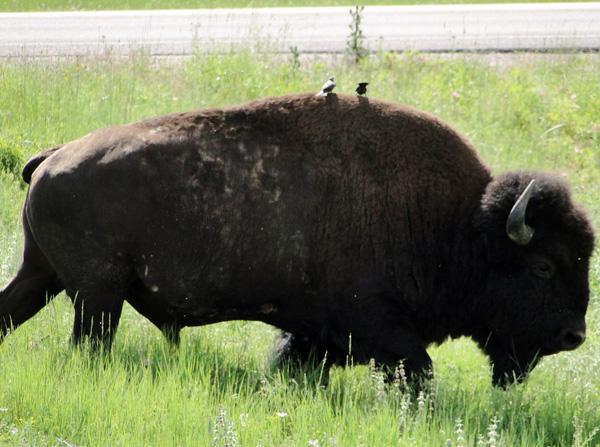 Image Result For Bison Dogs