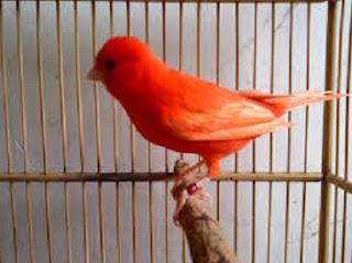 ra merawat burung,cdownload suara kenari betina siap kawin,dari ekor,perbedaan umur 4 bulan,memanggil jantan,jual kenari,ciri fisik kenari betina siap kawin,tanda kenari betina siap kawin,
