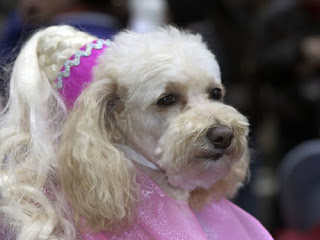 Funny Maltese Poodle Dogs