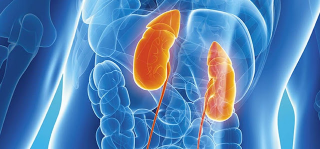 Riñones, sistema urinario y biologia
