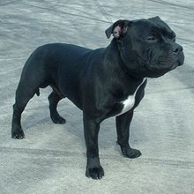 Staffordshire Bull Terrier Pictures