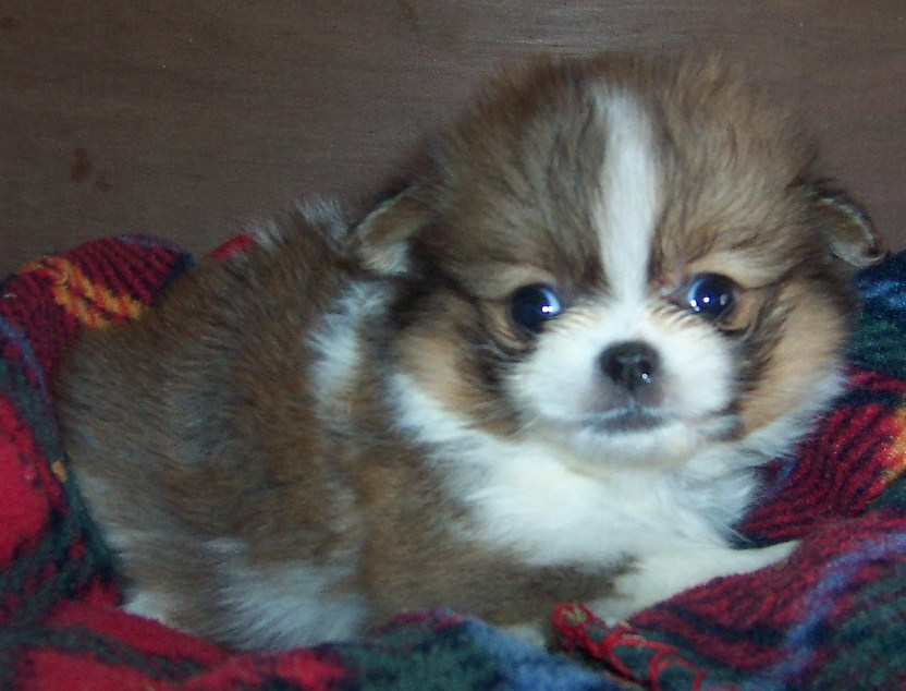 Japanese Chin Pomeranian Mix