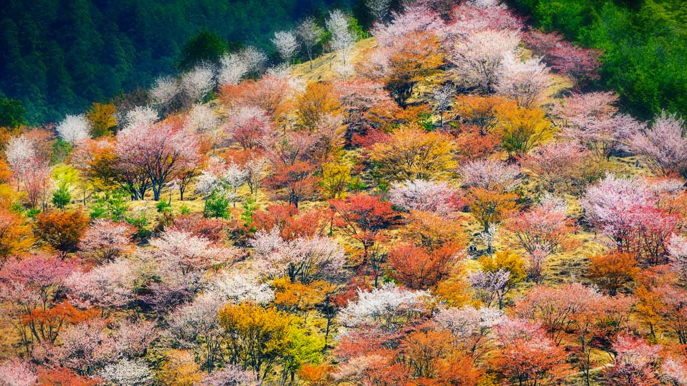 Spring cherry blossoms on Mount Yoshino in Nara Prefecture, Japan (© Sean Pavone/Alamy) 555