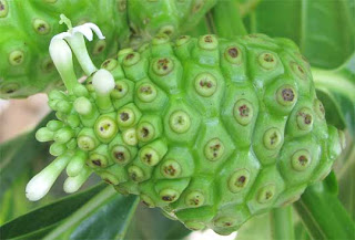 Noni fruit and malaria