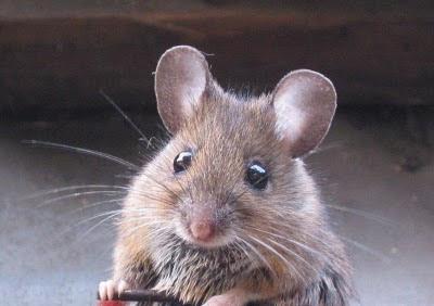 Cerita Motivasi Dari Seekor Tikus