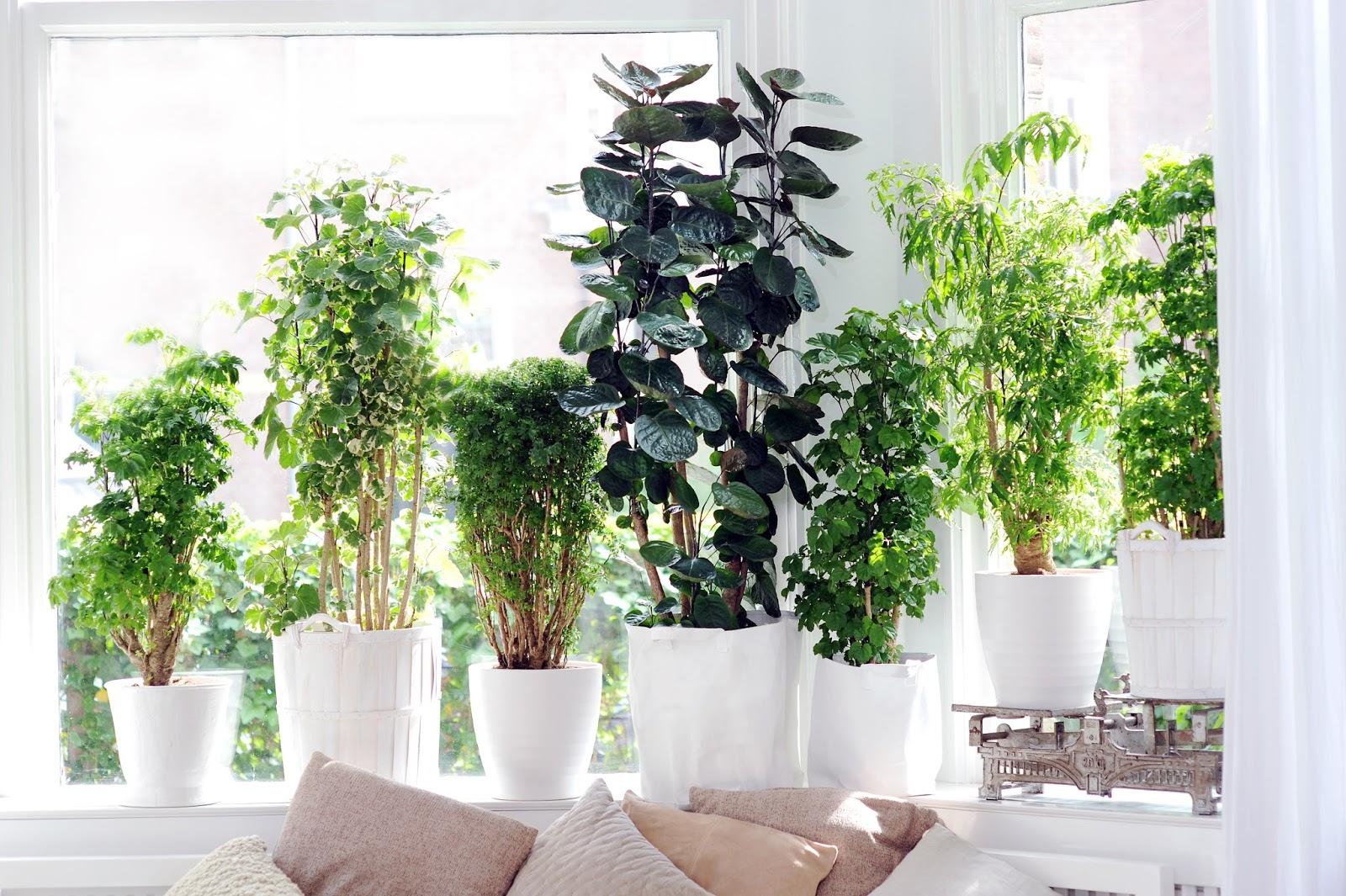 rboles dentro de casa. Black Bedroom Furniture Sets. Home Design Ideas