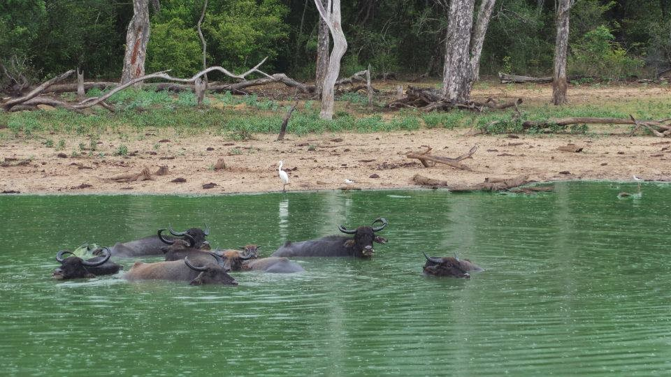 Buffaloes in water