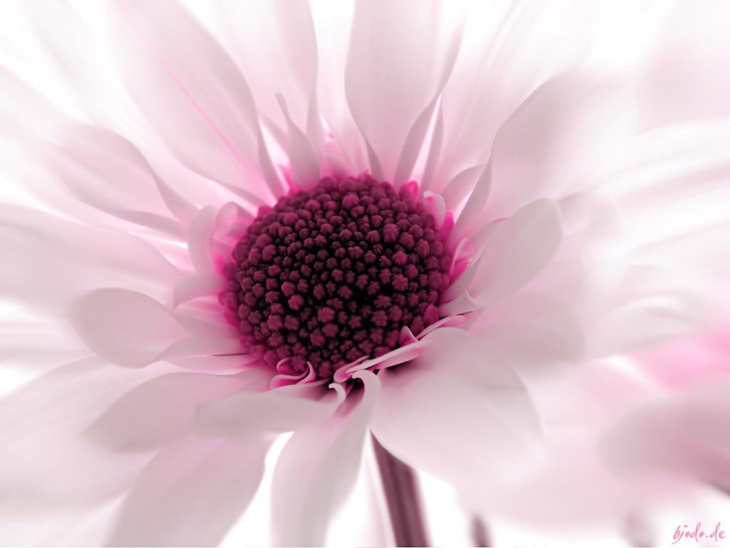 http://3.bp.blogspot.com/-IWBH200G3mU/UT_2W90Tw3I/AAAAAAAABj4/UhS61LG7JzU/s1600/pink_flower_wallpaper_for_desktop.jpg