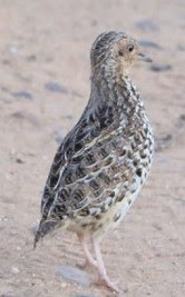 Buttonquail Survey supported by: