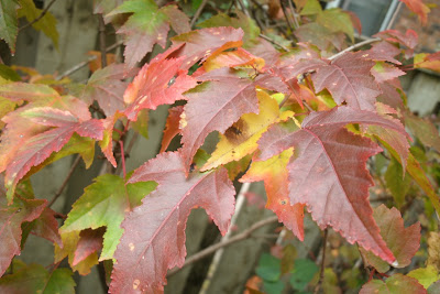 Acer ginnala Amur maple fall colour by garden muses--a Toronto gardening blog
