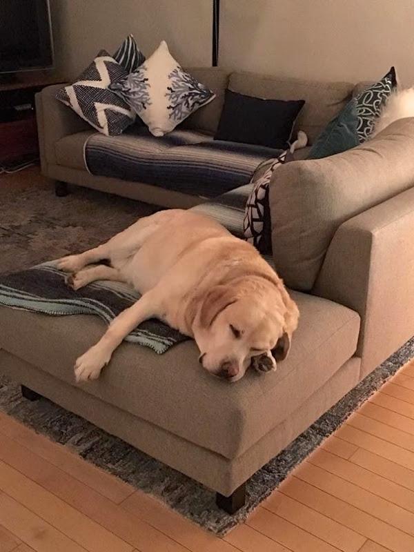Sleepy Labrador Cooper