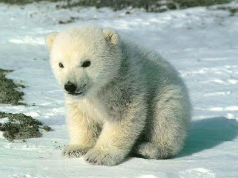 Hervorragend Le loup blanc,l' ours,le chien,le chien loup blanc. - les animaux. NY39