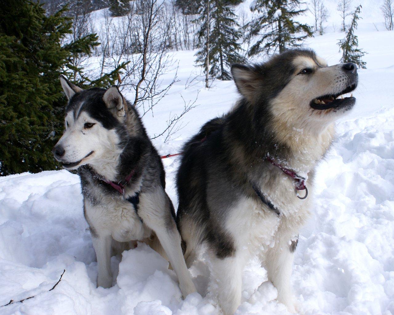 http://3.bp.blogspot.com/-IWw0rx48T8w/UEkAhlsZbwI/AAAAAAAAAOU/Hx_bzIJwnIE/s1600/siberian-husky-dog-11.jpg