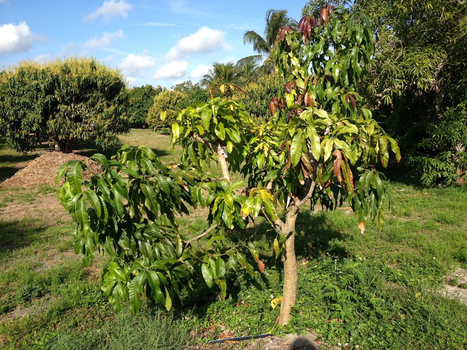 This Tree We Are Grafting Over To Carrie Mango I Eliminated Most Of The  Original Variety, So That New Growth Will Be On Only The Carrie Branches