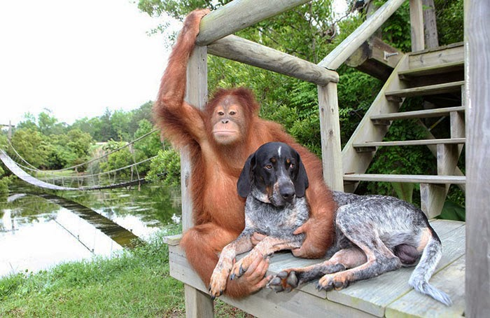 #14 Suryia the Orangutan and Roscoe the Blue Tick Hound - Unusual Animal Friendships That Are Absolutely Adorable!