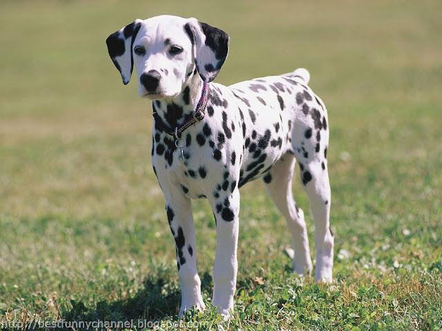 Cute Dalmatian puppy.