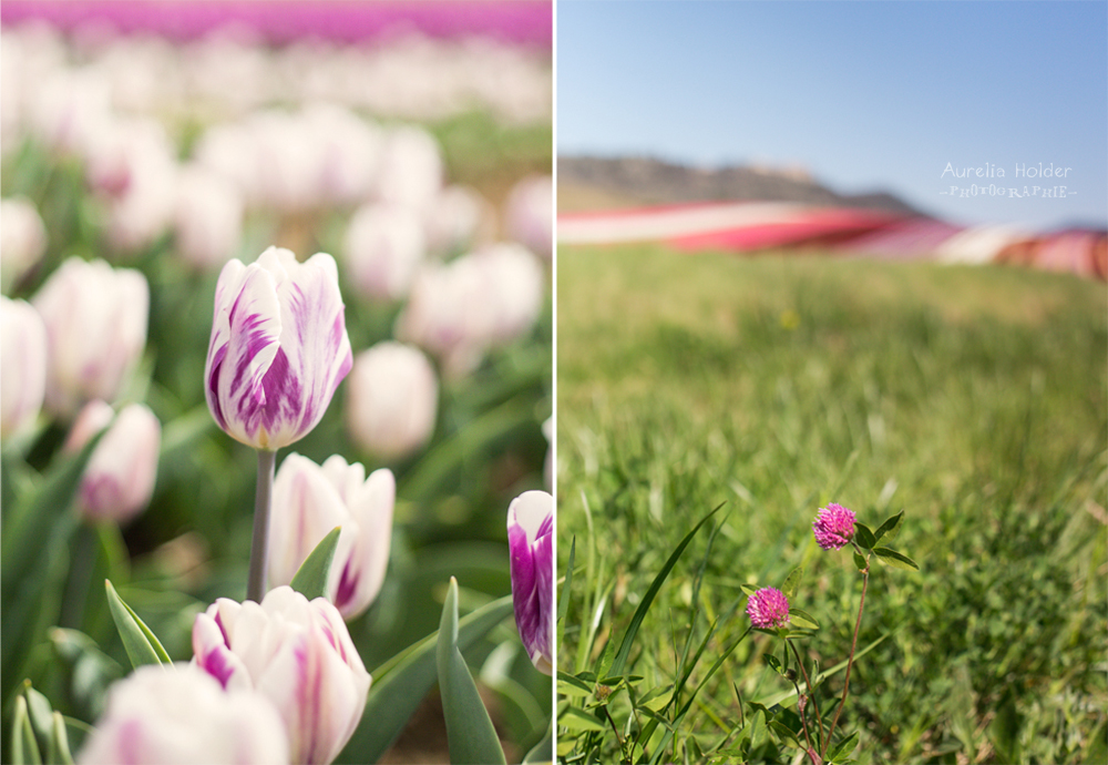 tulipe manosque