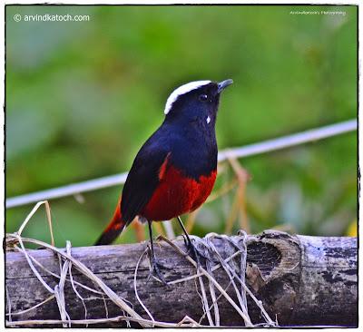 White Capped Redstart,  Himachal Pradesh, Himalayan Bird,