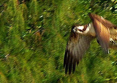 bird, Osprey in flight