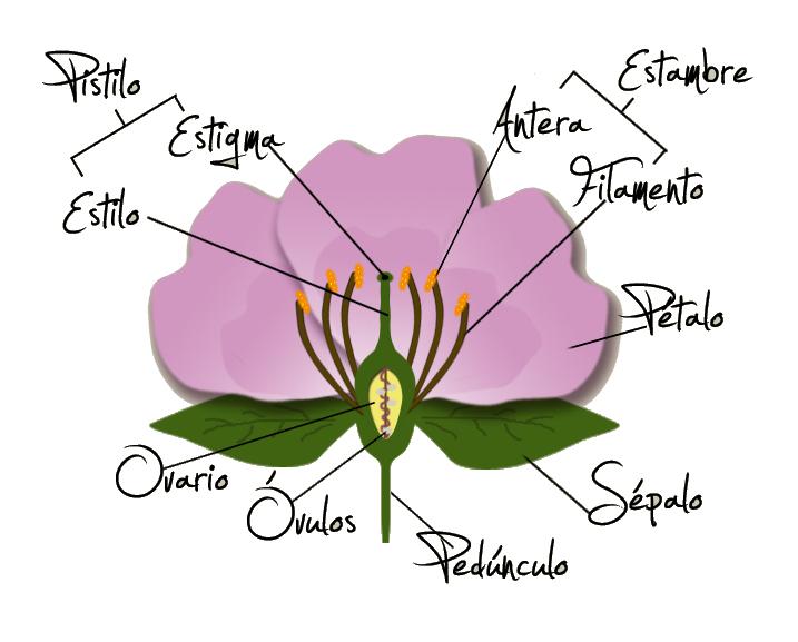 Las flores, los órganos reproductores de las plantas ...