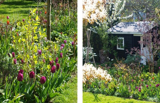 Tulipansorterne Ballerina, Purple Prince, Don Quichote, New Design og Magic Lavender giver haven farve i maj