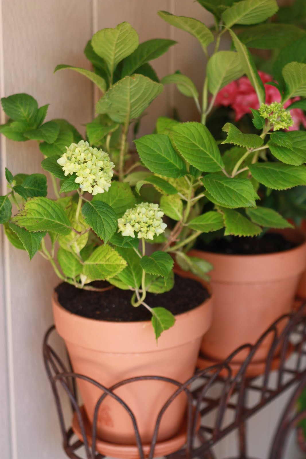 Potted hydrangea - Care potted hydrangea ...