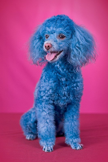 Funny Blue Poodle Dog Photos 2012 Funny And Cute Animals