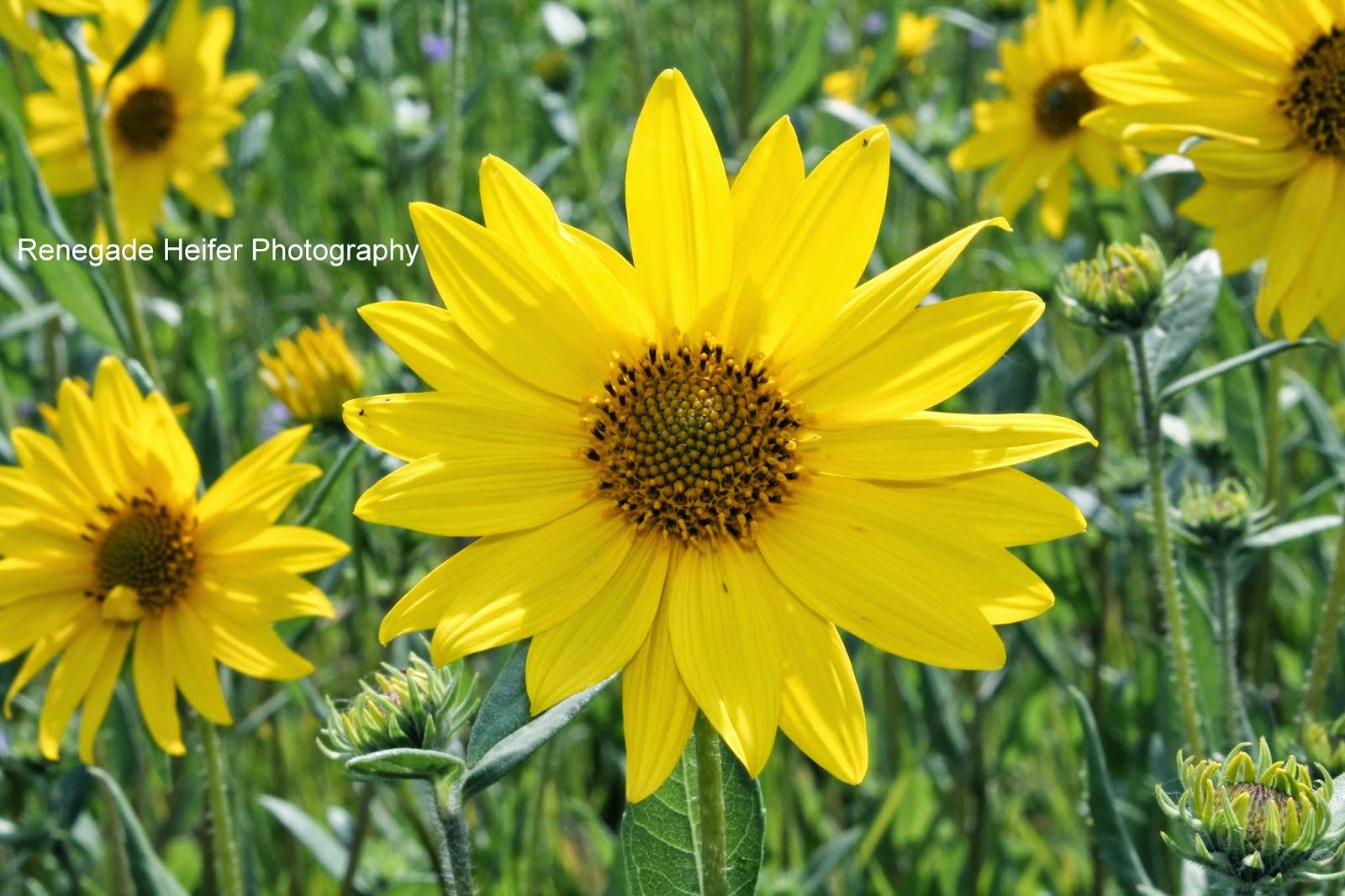 Renegade heifer photography wildflowers and weedflowers photo name sunny yellow prairie flower close up mightylinksfo