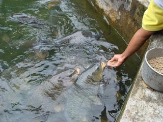umpan mancing ikan mas air hijau